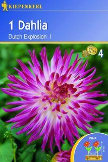 Dahlia 'Dutch Explosion' - Kiepenkerl ®