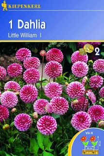 Dahlia 'Little William' - Kiepenkerl ®