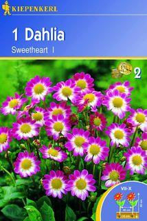 Dahlie 'Sweetheart' - Kiepenkerl ®