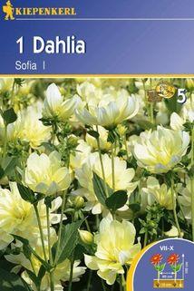 Dahlia 'Sofia' - Kiepenkerl ®