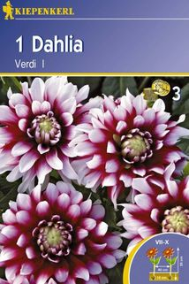 Dahlia 'Verdi' - Kiepenkerl ®