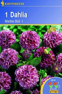 Dahlie 'Marble Boll' - Kiepenkerl ®