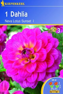 Dahlia 'Neva Lotus Sunset' - Kiepenkerl ®
