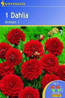 Dahlia 'Arnhem' - Kiepenkerl ®