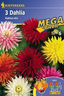 Dahlia 'Kaktus-Mix' - Kiepenkerl ®