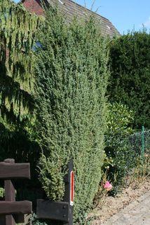 Irischer Säulenwacholder 'Hibernica' - Juniperus communis 'Hibernica'