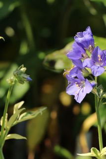 Jakobsleiter 'Brise d'Anjou' - Polemonium caeruleum 'Brise d'Anjou'