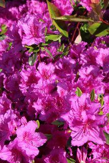 Japanische Azalee 'Königstein' - Rhododendron obtusum 'Königstein'