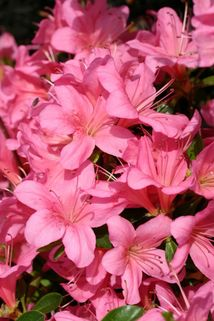 Japanische Azalee 'Royal Pink' - Rhododendron obtusum 'Royal Pink'