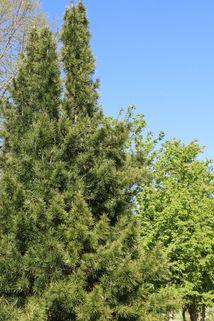 Japanische Schirmtanne - Sciadopitys verticillata