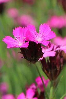 Kartäuser Nelke - Dianthus carthusianorum