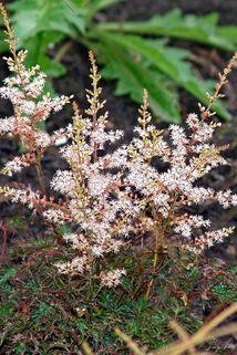 Kleine Garten Prachtspiere 'Buchanan' - Astilbe simplicifolia 'Buchanan'