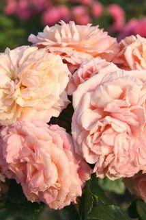 Kletterrose 'Amaretto' ® - Rosa 'Amaretto' ®