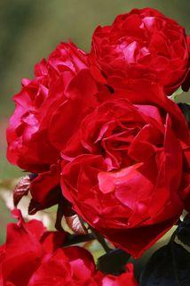 Kletterrose 'Florentina' ® - Rosa 'Florentina' ®