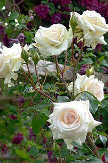 Kletterrose 'Schwanensee' ® - Rosa 'Schwanensee' ®