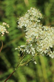 Knollen-Rüsterstaude - Filipendula vulgaris