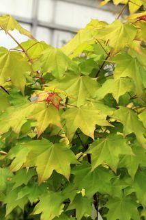 Kolchischer Goldahorn 'Aureum' - Acer cappadocicum 'Aureum'
