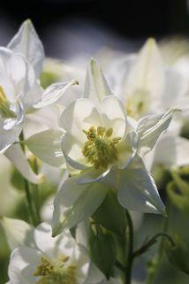 Kurzspornige Akelei 'Alba' - Aquilegia vulgaris 'Alba'