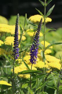 Langblättriger Ehrenpreis - Veronica longifolia