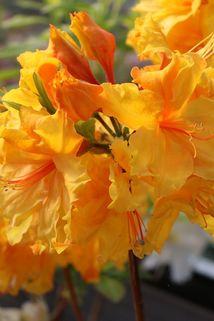 Laubabwerfende Azalee 'Goldpracht' - Rhododendron luteum 'Goldpracht'