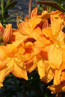 Laubabwerfende Azalee 'Klondyke' - Rhododendron luteum 'Klondyke'