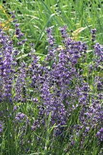 Lavendel 'Dwarf Blue' - Lavandula angustifolia 'Dwarf Blue'