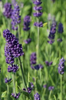 Lavendel 'Ellagance Purple' - Lavandula angustifolia 'Ellagance Purple'