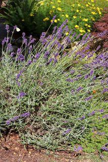 Lavendel 'Imperial Gem' - Lavandula angustifolia 'Imperial Gem'