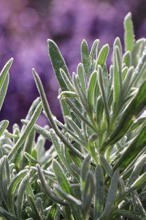 Lavendel 'Silver Mist' - Lavandula angustifolia 'Silver Mist' / 'Silber Nebel'
