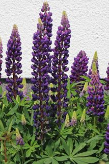Lupine 'Camelot Blue' ® - Lupinus polyphyllus 'Camelot Blue' ®