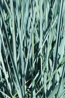 Magellan-Gras - Agropyron magellanicum