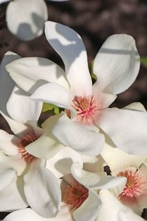 Magnolie 'Sunrise' - Magnolia 'Sunrise'