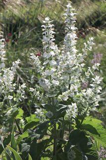 Muskateller Salbei 'Vatican White' - Salvia sclarea var. turkestanica 'Vatican White'