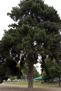 Österreichische Schwarz-Kiefer - Pinus nigra ssp. nigra