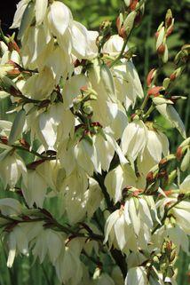 Palmlilie 'Bright Edge' - Yucca filamentosa 'Bright Edge'