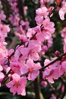 Persische Mandel 'Spring Glow' - Prunus x amygdalopersica 'Spring Glow'