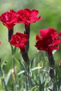 Pfingst-Nelke 'Rubin' - Dianthus gratianopolitanus 'Rubin'