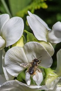 Platterbse 'Weiße Perle' - Lathyrus latifolius 'Weiße Perle'