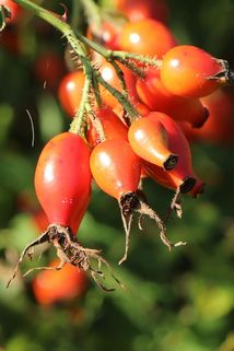 Pracht-Hagebuttenrose - Rosa sweginzowii 'Macrocarpa'