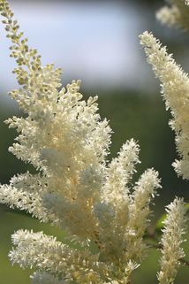 Prachtspiere 'Vision in White' ® - Astilbe chinensis 'Vision in White' ®