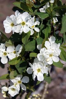 Prunkspiere 'Snow White' - Exochorda serratifolia 'Snow White'