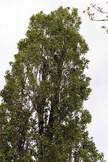 Pyramidenpappel - Populus nigra 'Italica'