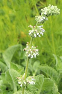 Quirlblütiger Salbei 'Alba' - Salvia verticillata 'Alba'
