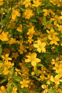 Ranunkelstrauch / Kerrie - Kerria japonica