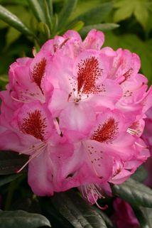 Rhododendron 'Maddalena' ® - Rhododendron Hybride 'Maddalena' ®