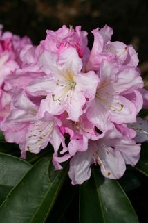 Rhododendron 'Rosé Duft' - Rhododendron Hybride 'Rose Duft'