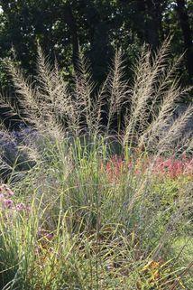 Riesen Fallsamengras - Sporobolus wrightii