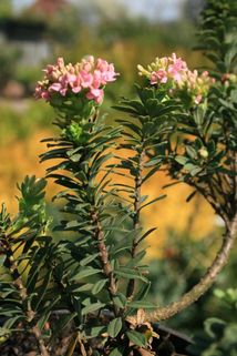 Rosmarin-Seidelbast - Daphne cneorum