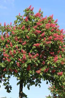 Rotblühende Roßkastanie / Edelkastanie - Aesculus carnea 'Briotii'