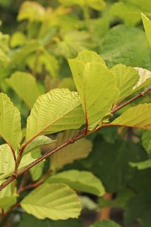 Roterle - Alnus glutinosa